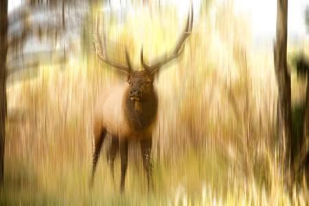 Bull Elk Forest Dreaming