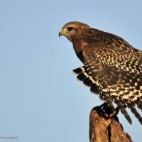Red Shouldered Hawk by Donnie Shackleford