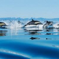Leaping Dolphin Pod by John Tribolet