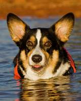 Cute Corgi Swimming