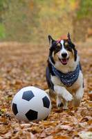 Corgi Playing Soccer