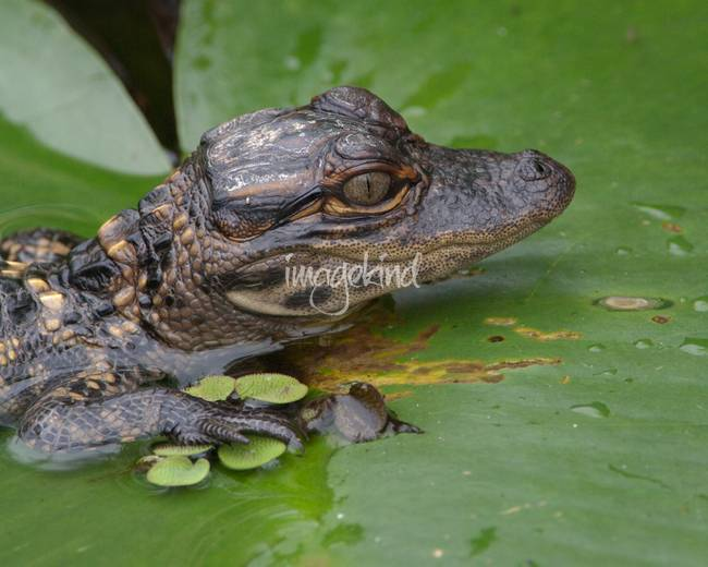 "Stunning ""Baby Alligators"" Artwork For Sale on Fine Art Prints"
