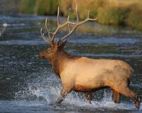 Elk Splashing