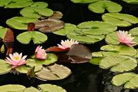 The loveliness of Waterlilies