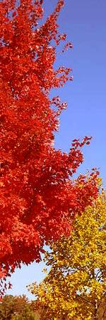 Fall Red  yellow trees