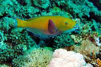 Yellow Parrotfish