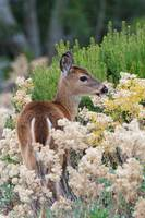 Fawn in the Grass