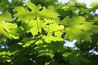 Green Leaves Canvas by Carol Groenen