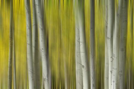 Autumn Aspen Tree Trunks In Their Glory Dreaming