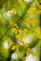Yellow Leaves 1