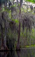 Spanish Moss Draped Cypress