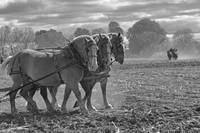 Draft Horse Trio