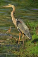 Blue Heron On The Bank