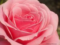 Beautiful Layered Pink Rose