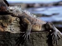 Exhausted Marine Iguana
