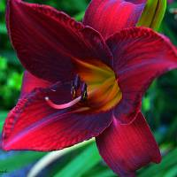 Red Lily Art Prints & Posters by Kathleen Engle