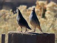 Two Blue Quail IMG_2954
