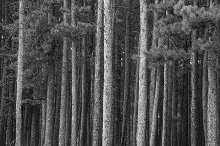 Pine Tree Forest In Black and White