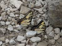 Yellow Swallowtail Butterflies on Rocks