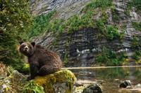 Great Bear Rainforest Bear