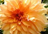 Radiating Orange Dahlia by Carol Groenen