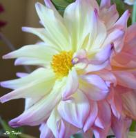 Multicolored Dahlia