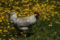 White Rooster in Wild Flowers