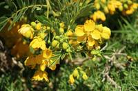 Yellow Flowers on a Bush