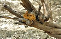 Chicken on a Dead Tree on a River Bed