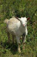 Young Goat With Short Horns