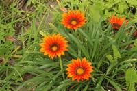 Orange Flowers in a Garden