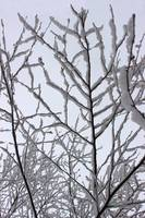 Snow Branches Reaching Up