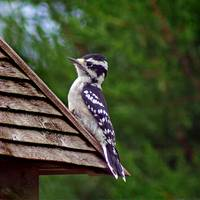 Downy Woodpecker Square Format