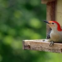 Redbellied Woodpecker on Bird Feeder by Karen Adams