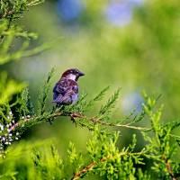 Sparrow In Evergreen Tree by Karen Adams