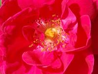 Center of a Rose