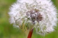 Dandelion Puff by David Kocherhans