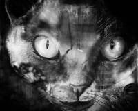 Devon Rex cat  BW