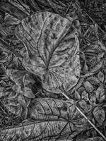 DRY LEAVES in BLACK & WHITE - DEC 2014