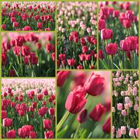Pretty Pink and Green Tulips  Collage by Carol Groenen