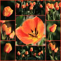 Orange Tulips Collage best by Carol Groenen