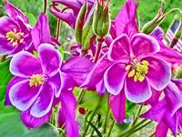 Vibrant purple Colorado columbine flower print