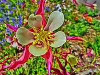 Vibrant Colorado columbine pink flower print