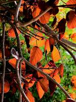 copper colored leaves