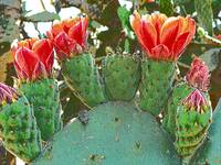 cactus flower row