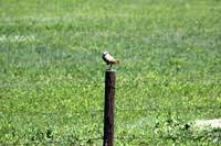 Owl On Post