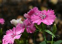 The Dianthus of the Divine