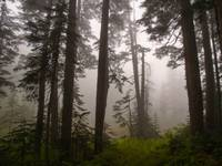 Fog in Cascade forest Alpine Lakes Wilderness