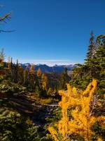 Larch fall color near Lake Ann Alpine Lakes