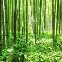 """Bamboo"" by gabii40"